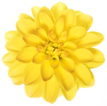 picture of a dahlia flower