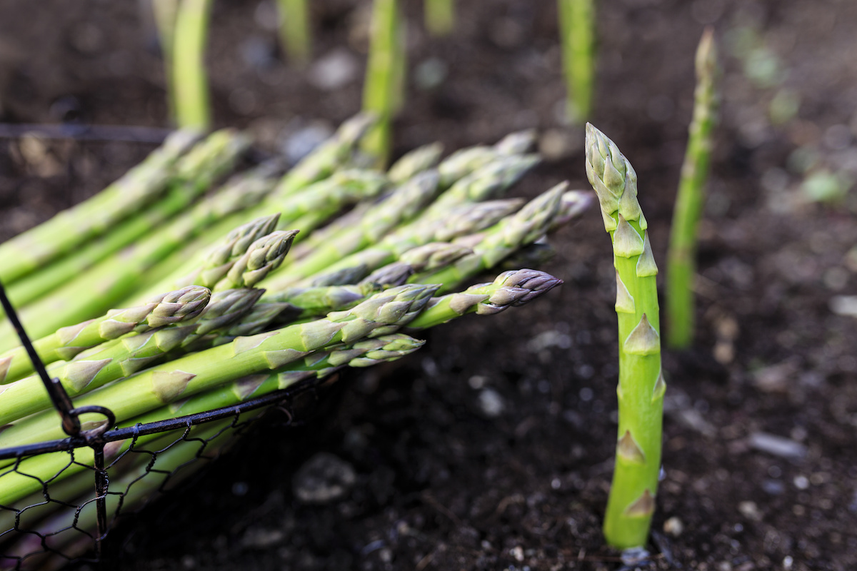 How To Plant And Grow Asparagus 2021 Masterclass