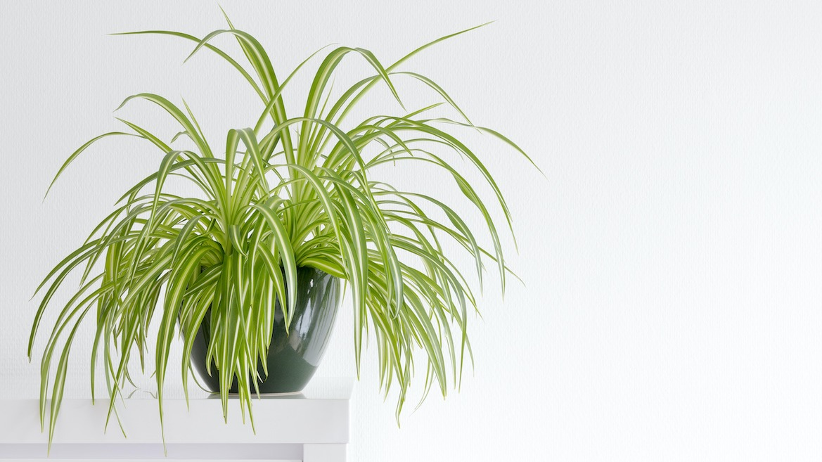 Spider Plant Care Guide How To Grow Spider Plants Indoors 2021 Masterclass