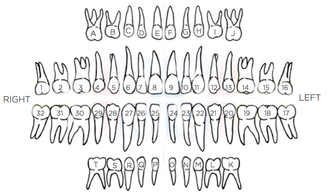 Labeled chart of teeth inside the mouth