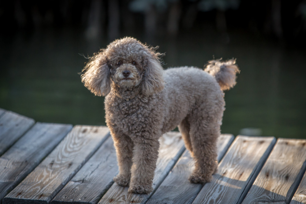 Miniature Poodle Breeders Canadian Kennel Club Registered