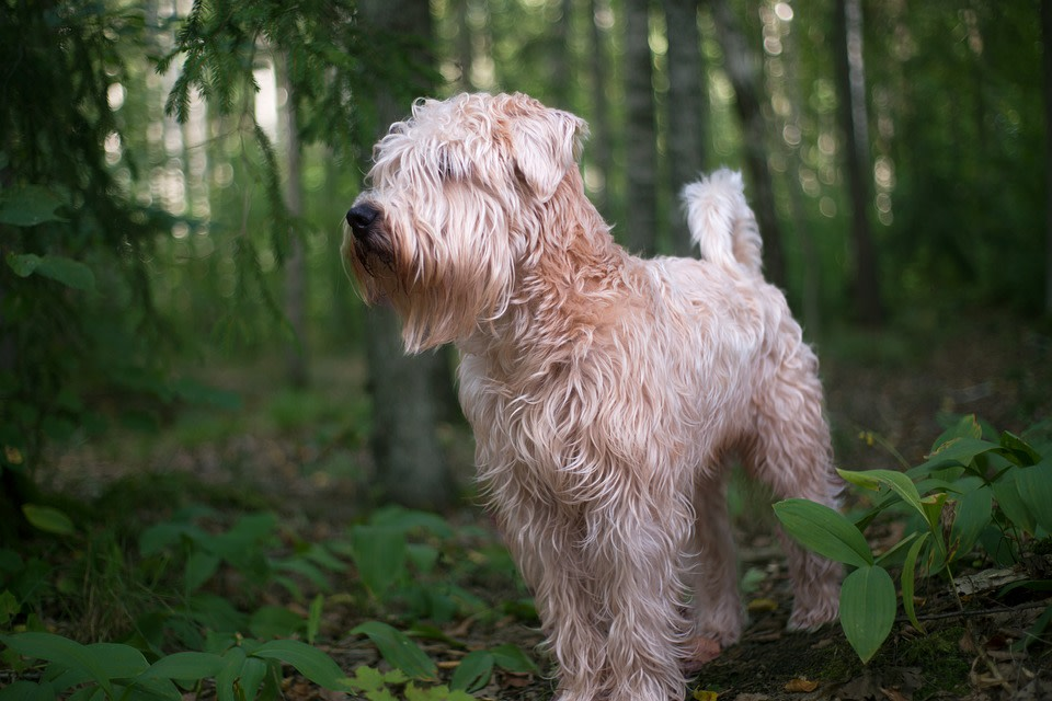 Soft Coated Wheaten Terrier Breeders Canadian Kennel Club Registered Pawzy