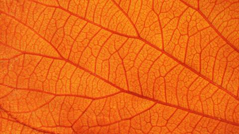 Orange-bannder