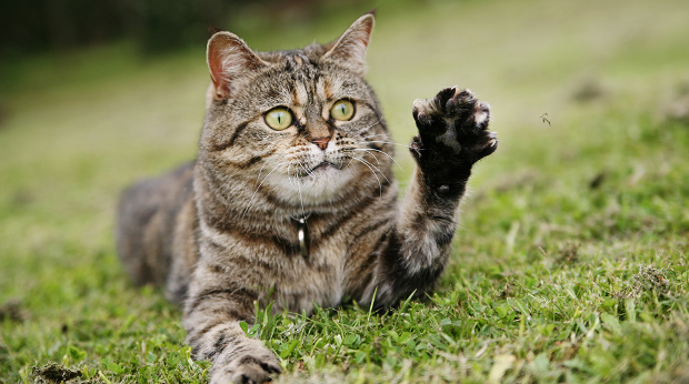 Is Your Cat Left Handed?