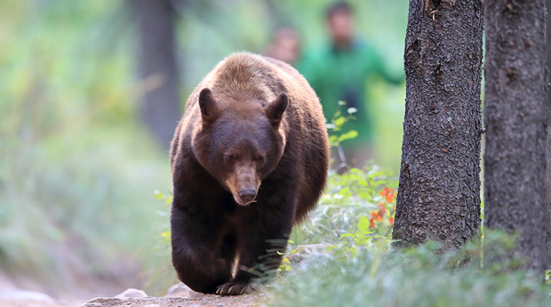 Bear Encounters Are On The Rise!