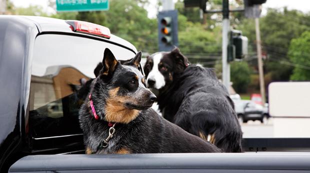 Dogs & Pickup Trucks: Deadly Combo!