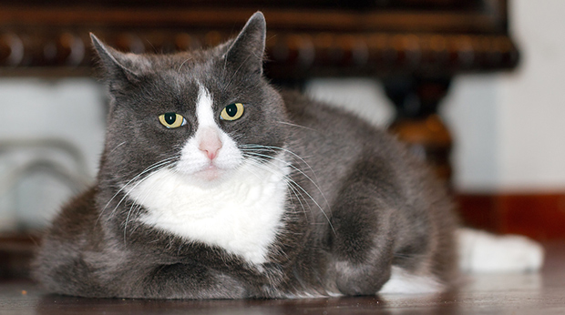 Should You Put Your Cat On A Diet?