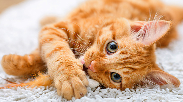 Is Your Cat A Furry Genius?
