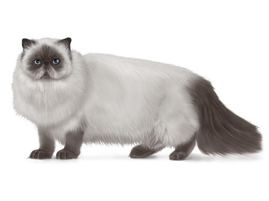 Longhair cat breeds.