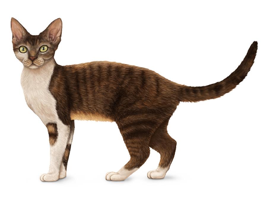 Shorthair cat breeds.