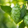 BELMA? HOPS, YOUR NEW FAVORITE Image