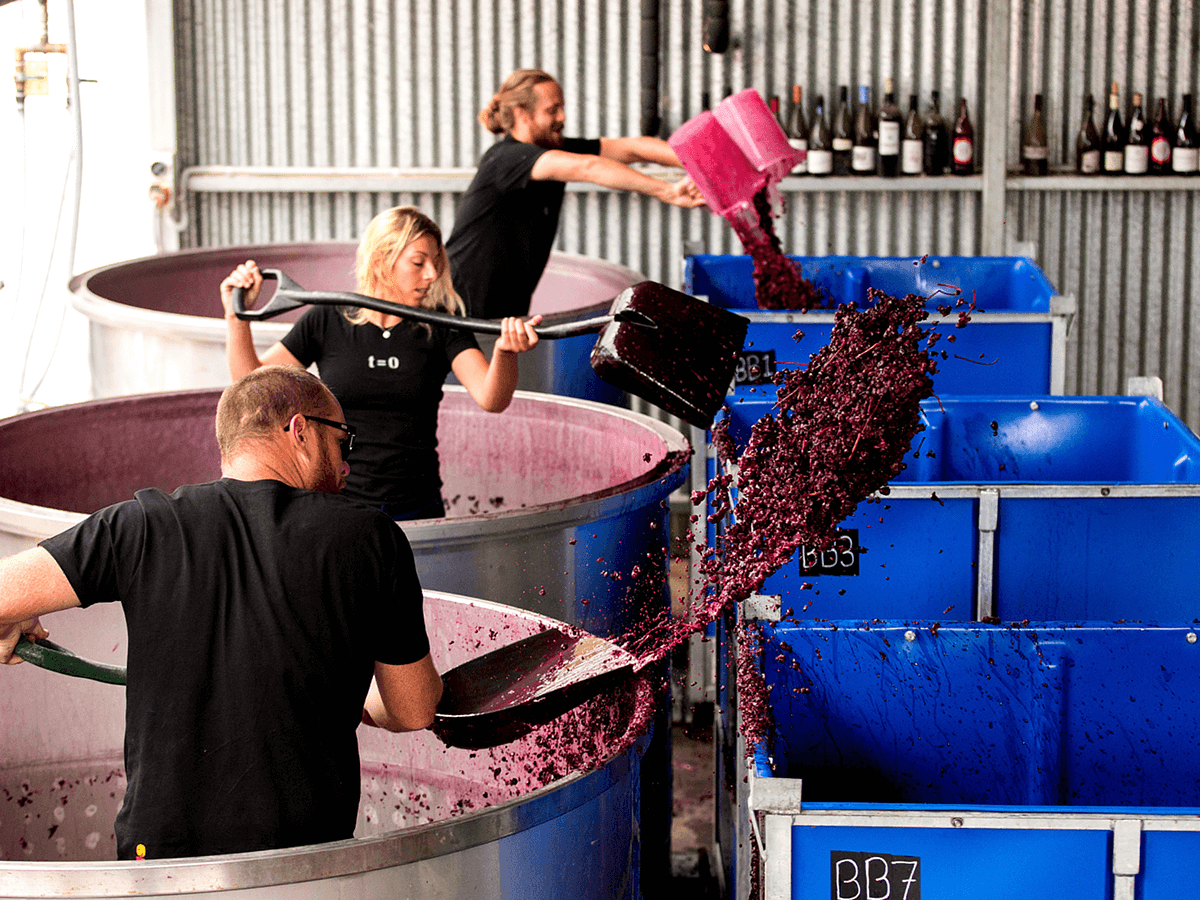 three workers shovel red grapes into large bins in a winery.