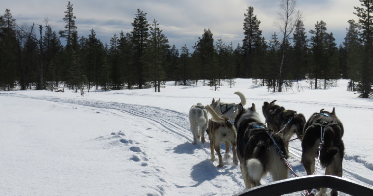 husky dog sledding in Tallin on stag do