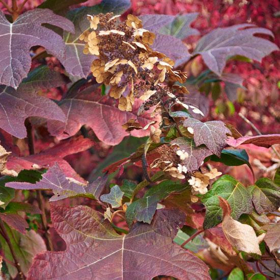 Shrubs With Fall Foliage