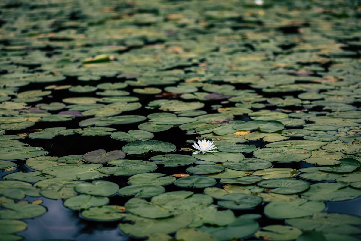 flower-amongst-lily-pads