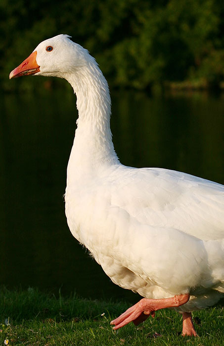 Domestic Goose 2 von Shahee Ilyas. Wikimedia Commons, CC-BY-SA