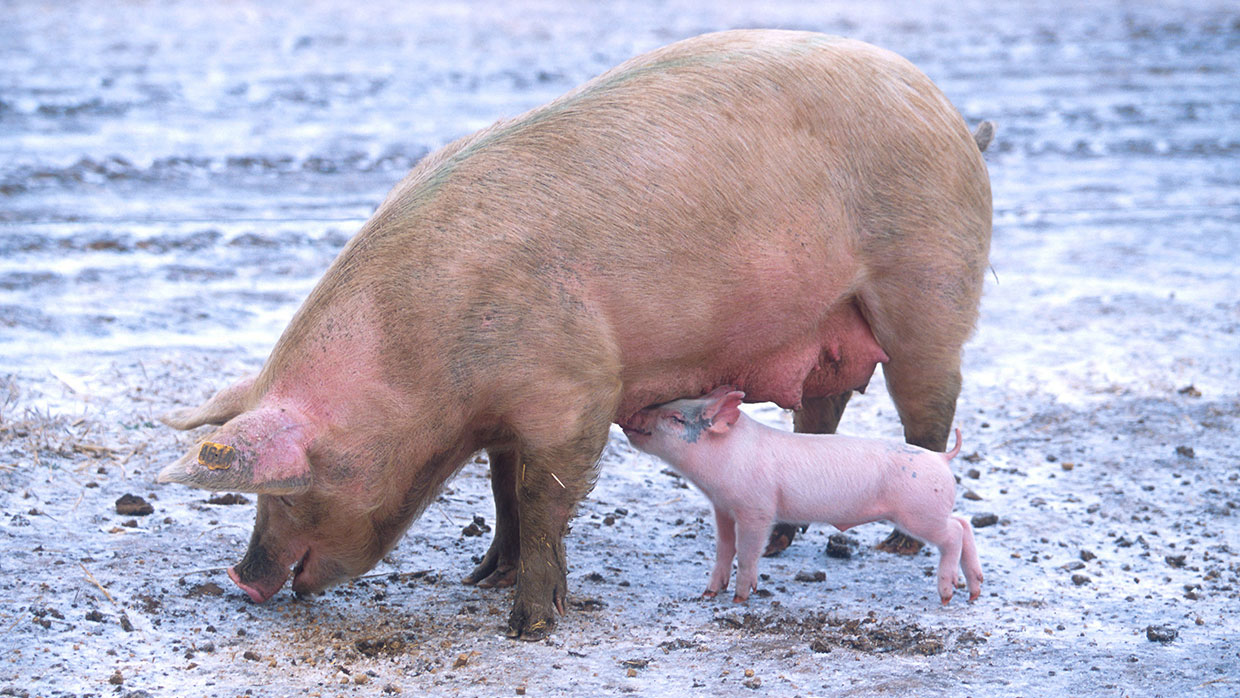 Sow with piglet. Wikimedia Commons, gemeinfrei