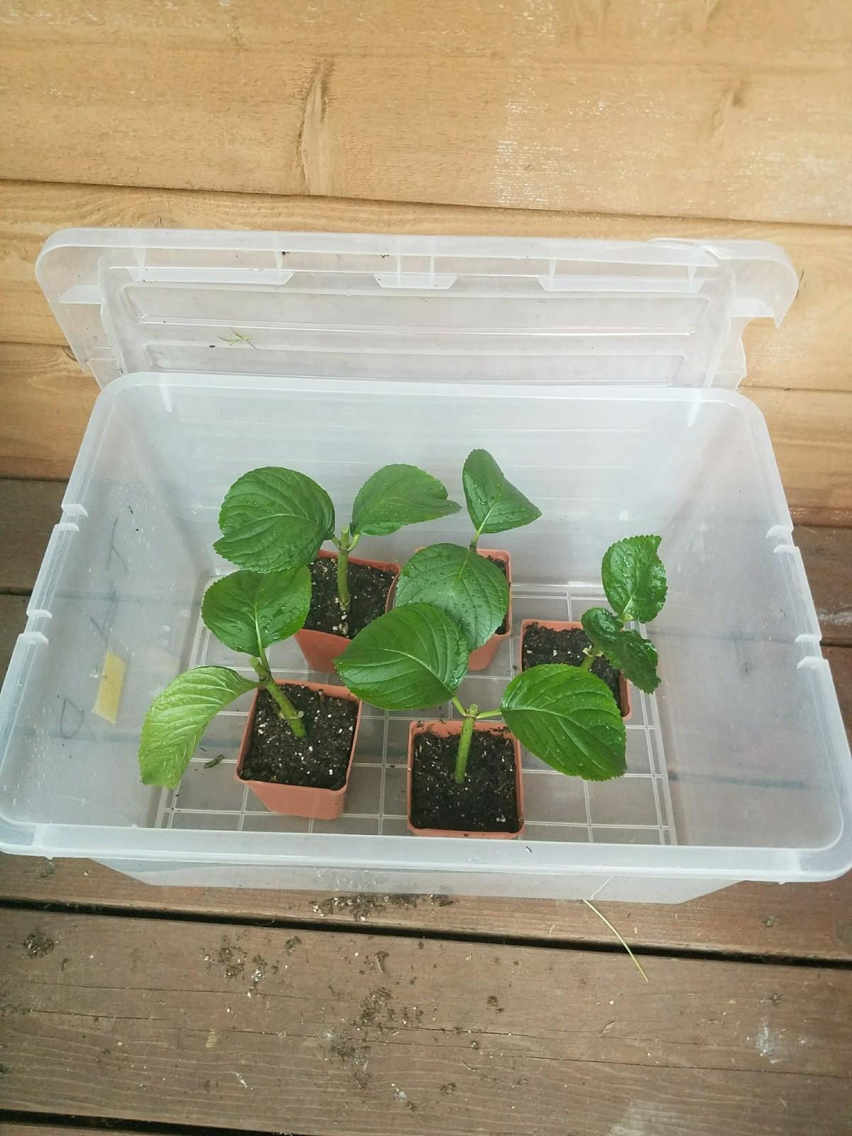 Hydrangea Mini Greenhouse