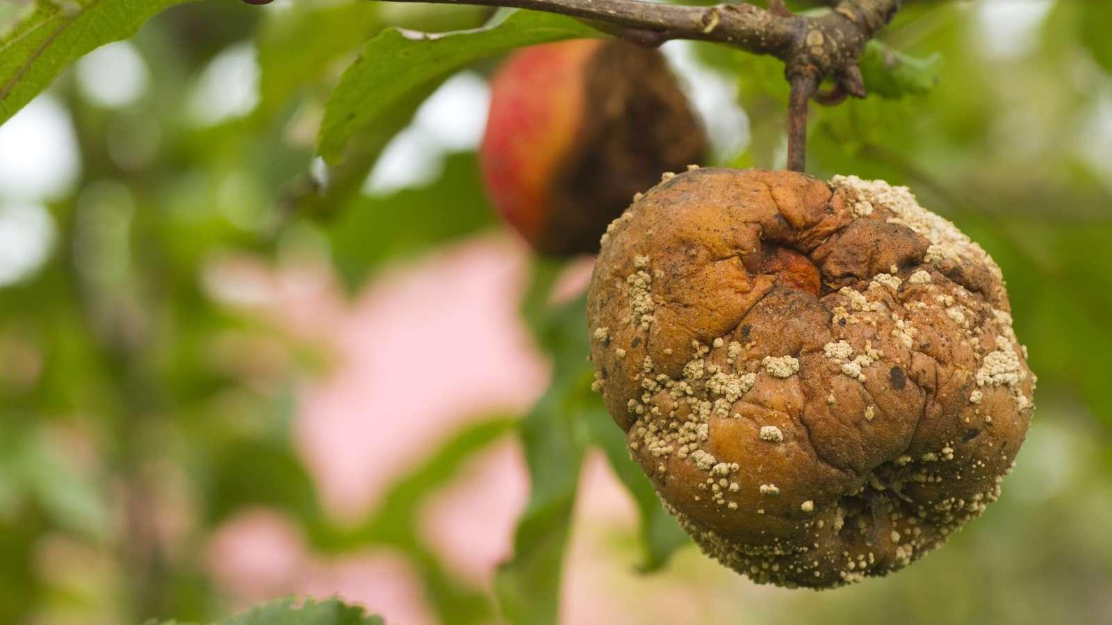 Omenapuun Muumiotauti