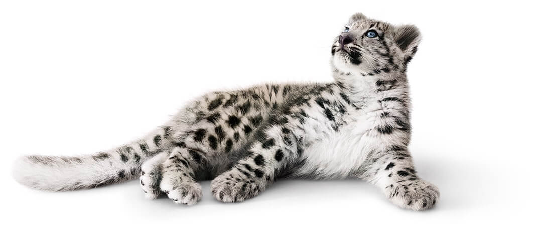 Snow leopard lying down
