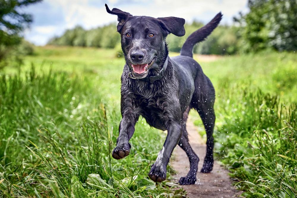 CBD oil for dog mobility