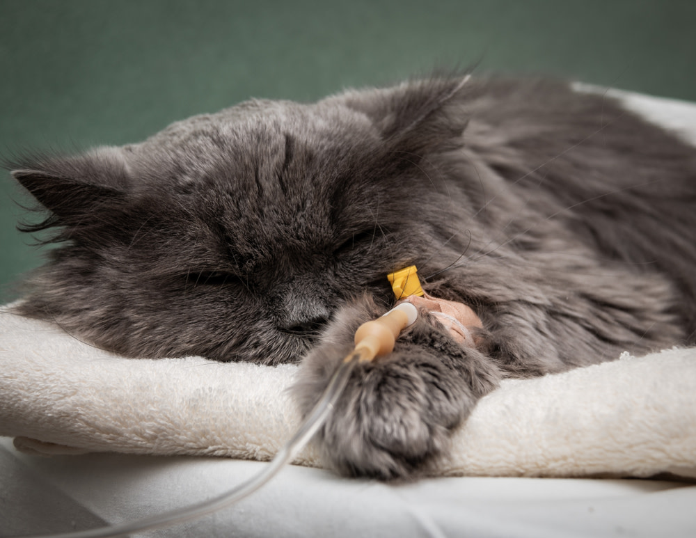 Most Common Cancer in Cats