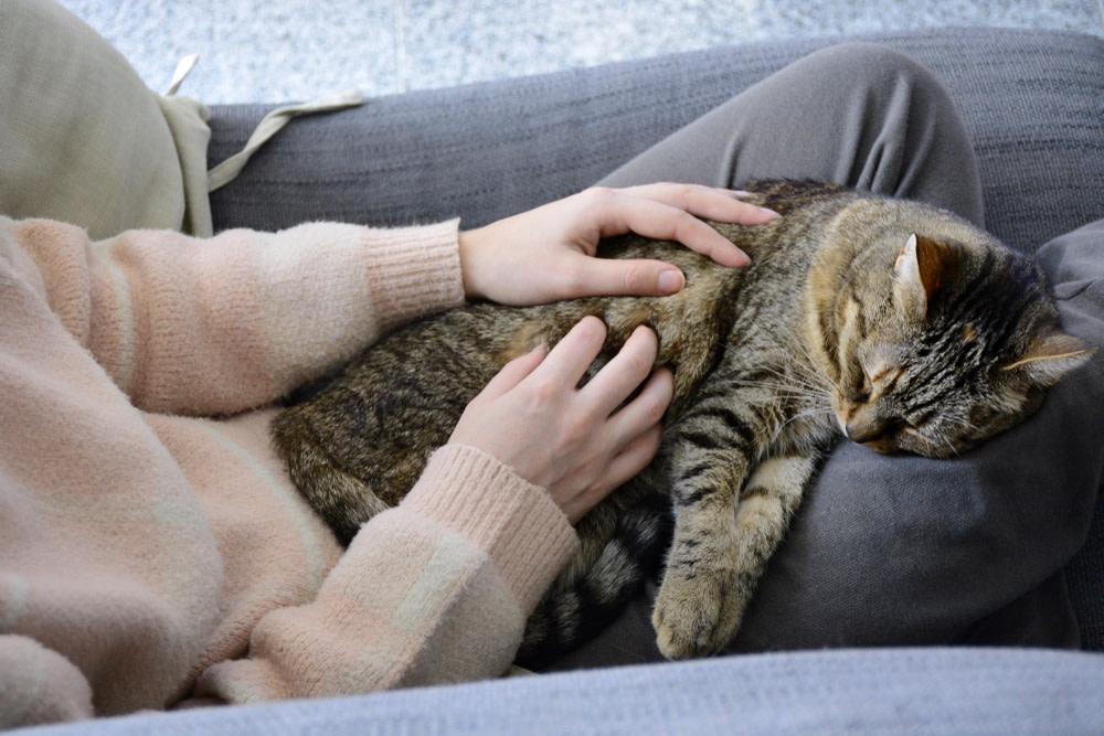Sleepy satisfied tabby cat on woman's lap