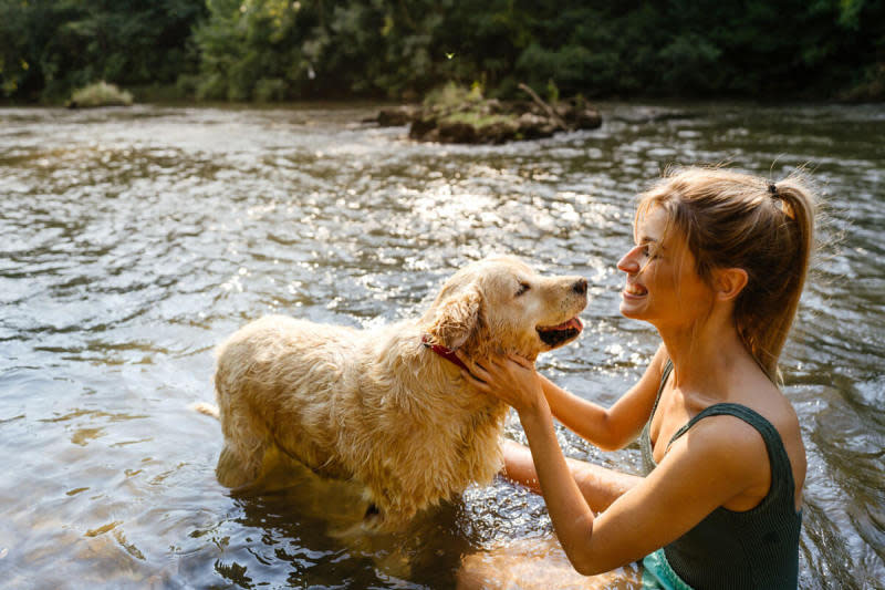 An older golden retriever dog wades in the river water with his tongue out while their owner smiles and pets them
