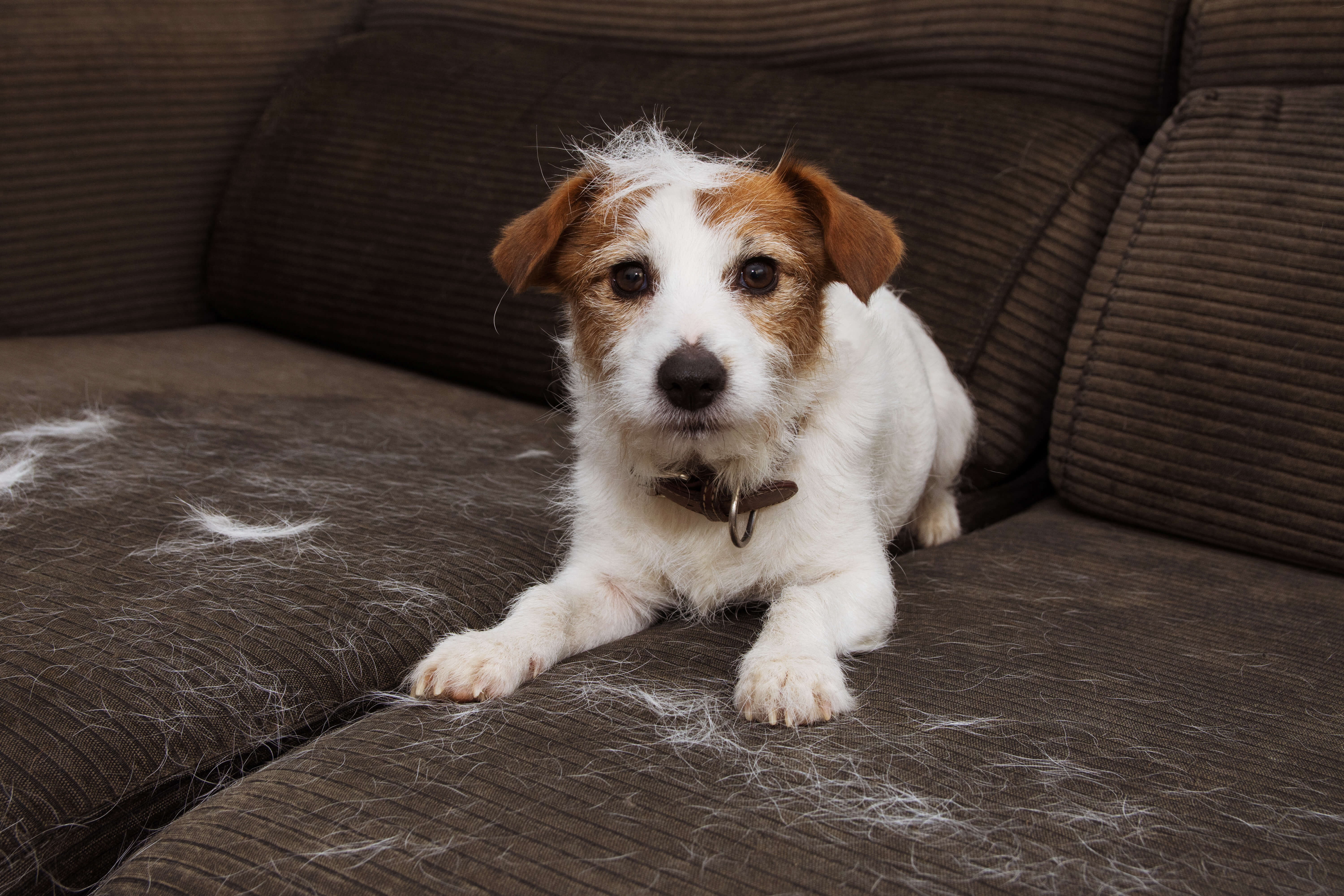 dog shedding on couch