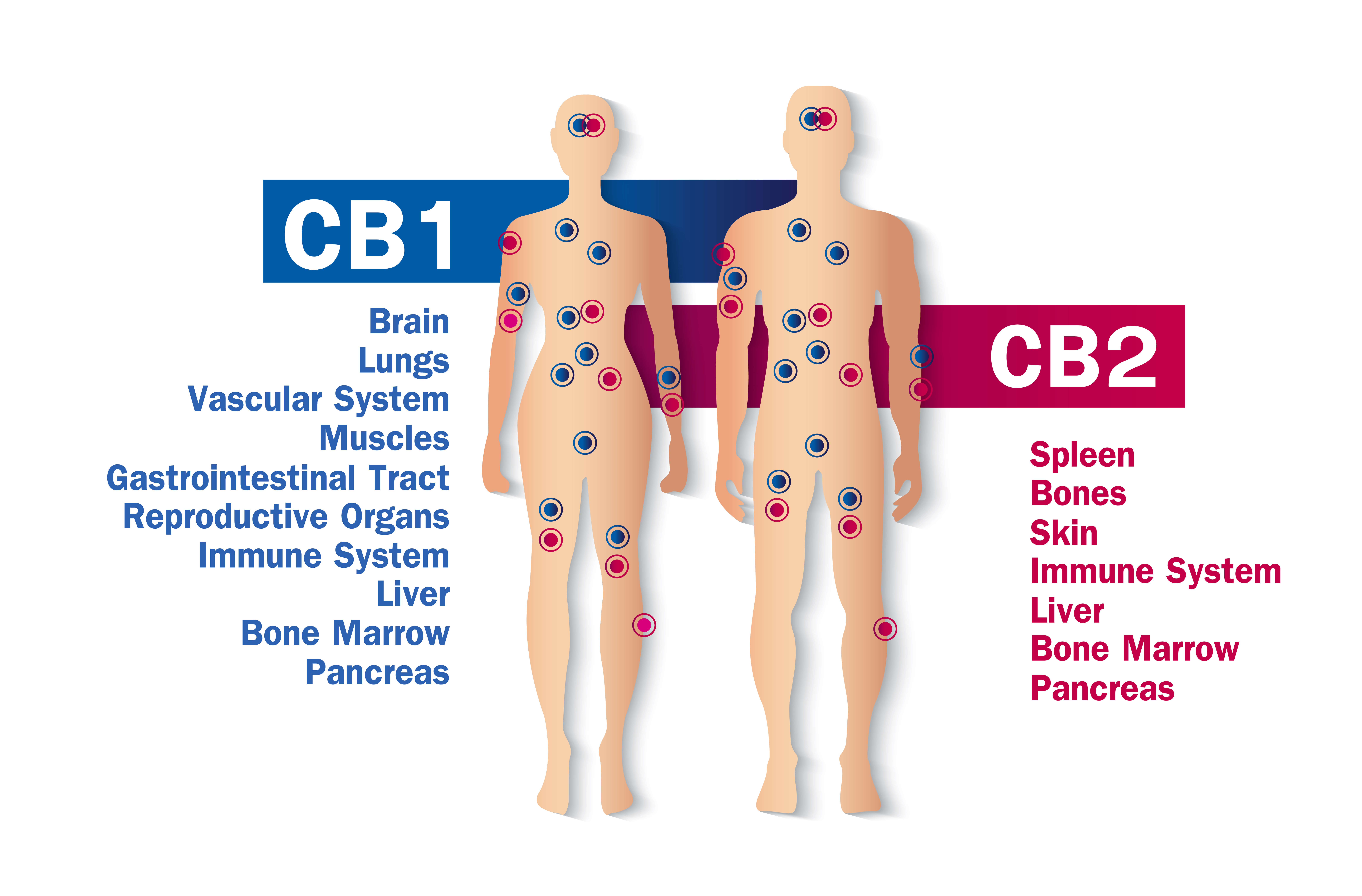 A picture of the endocannabinoid system and CBD effects, highlighting where the CB1 and CB2 receptors are located.