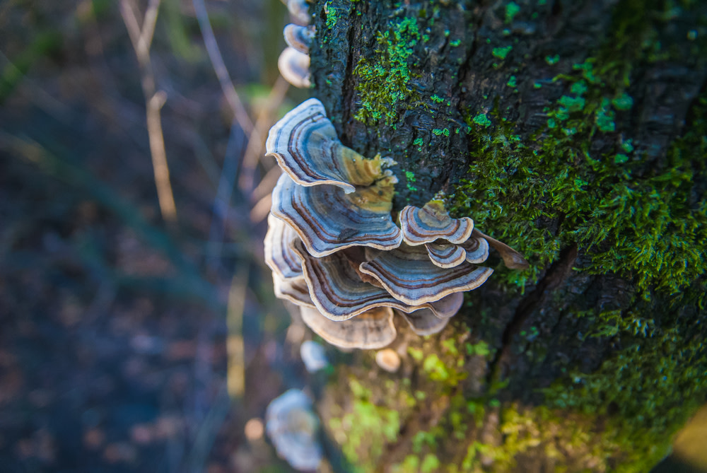 Turkey Tail Mushroom for Dogs with Cancer