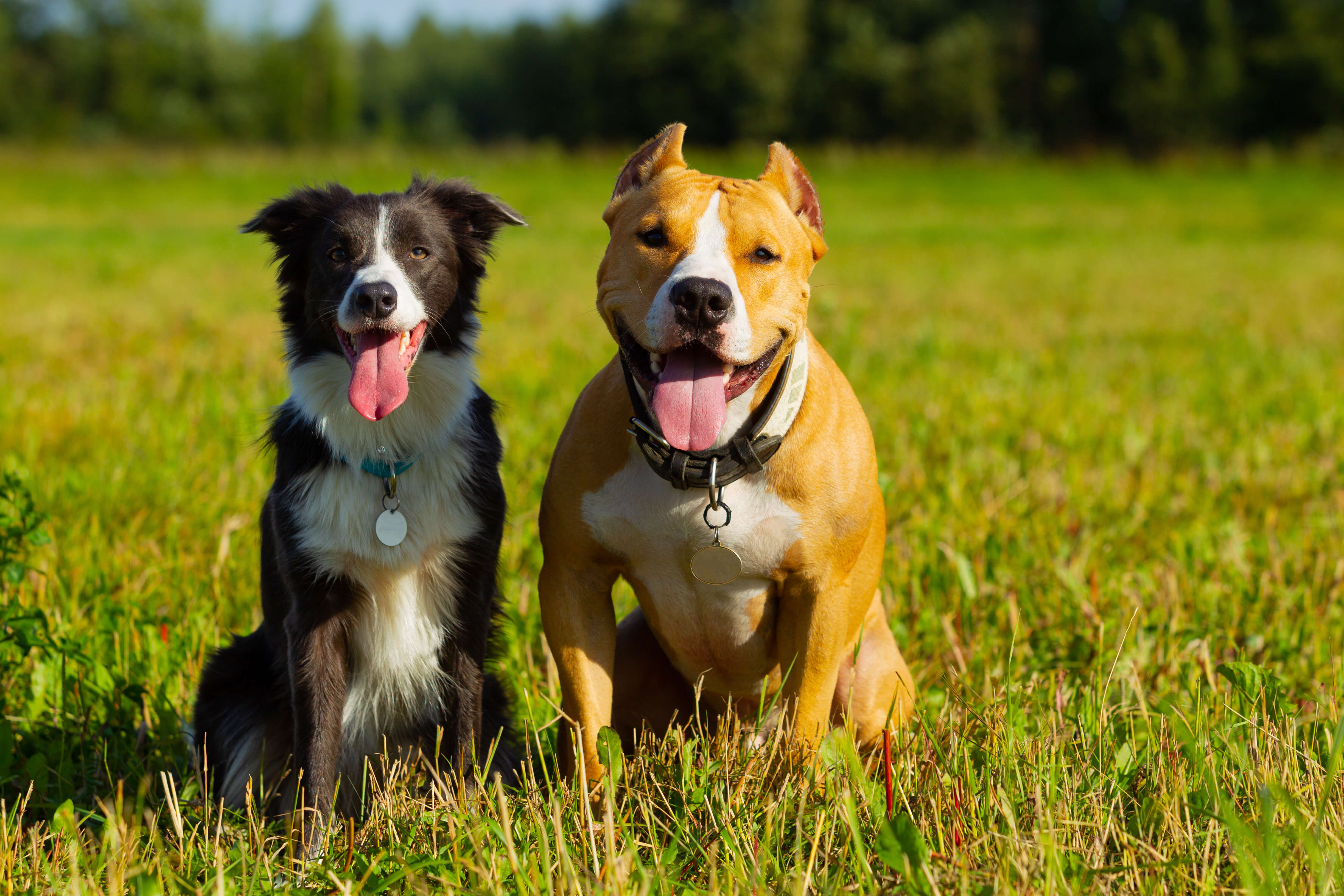 A collie and pitbull in a field with their tongues out