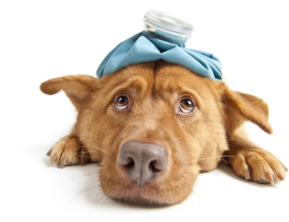 Signs Your Dog has Liver Disease