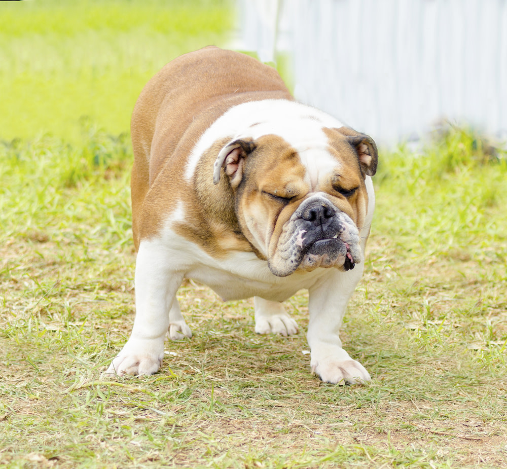 dog constipation: causes and remedies