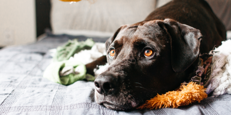 la ansiedad puede causar micción frecuente en perros