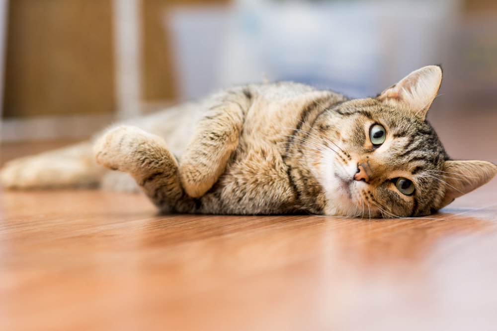 benefit of coconut oil for cats