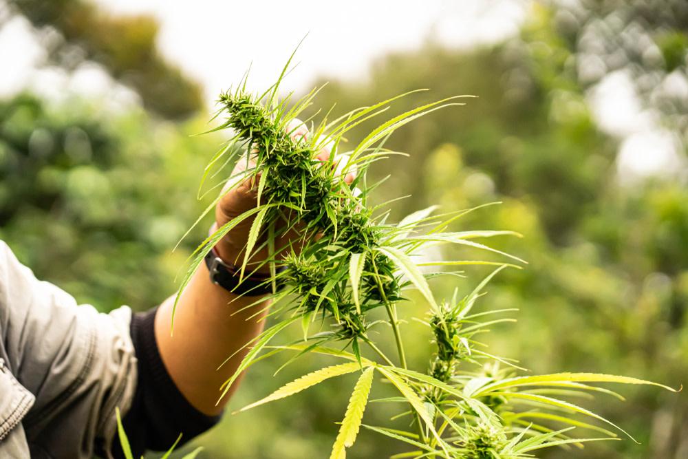 Hand holding marijuana tree