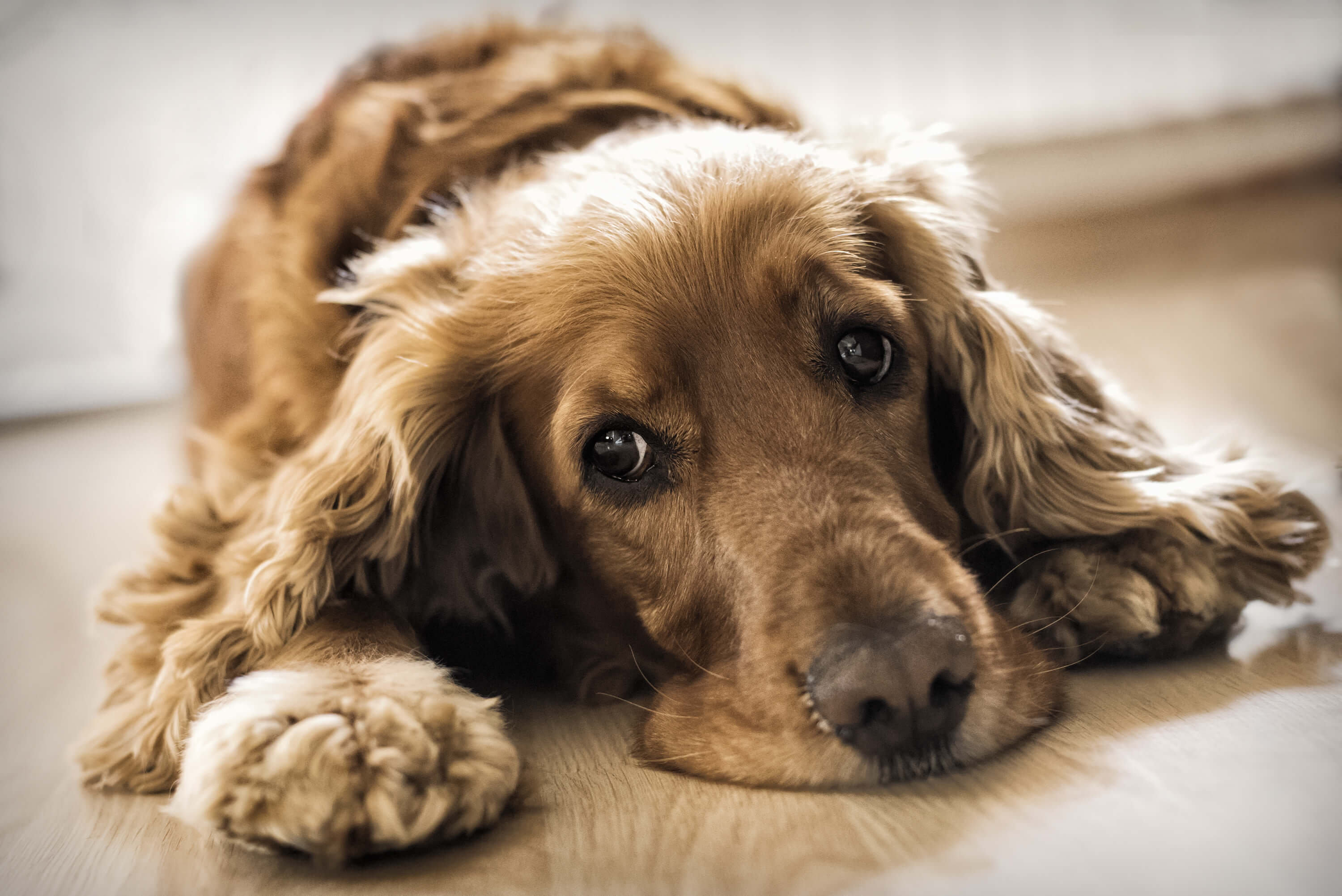 Brown retriever type dog laying down on the floor
