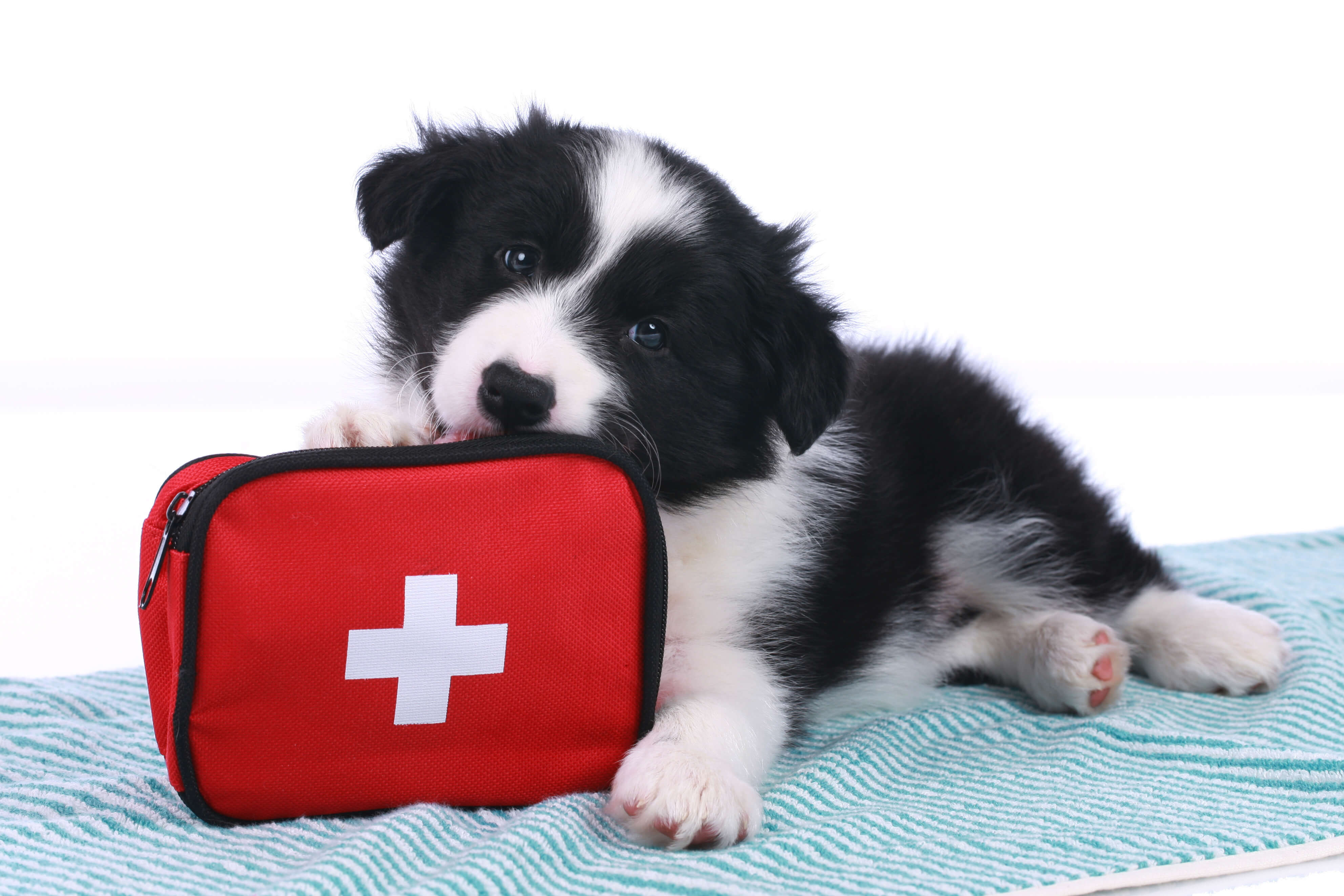 puppy with an emergency kit