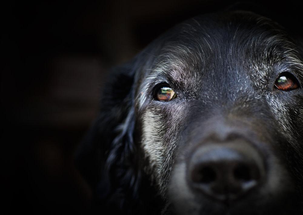 CBD Oil For Glaucoma In Dog