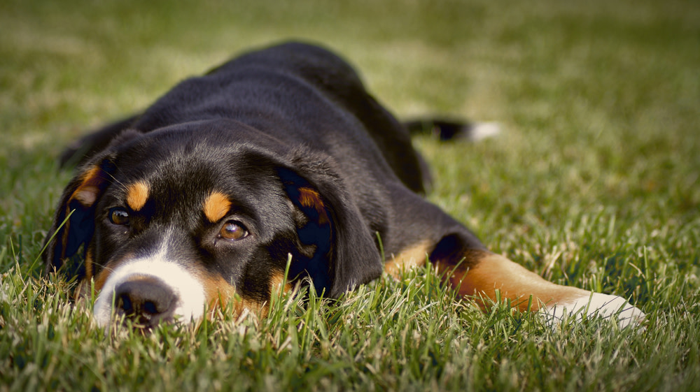 What are the Signs of Cancer in Dogs