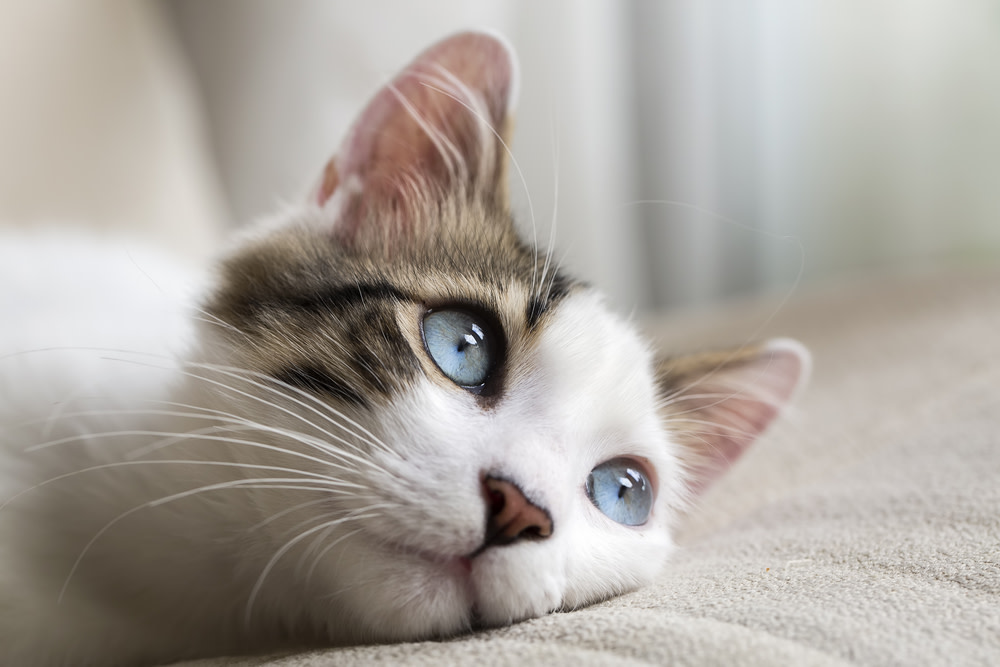 causes of cat lethargy