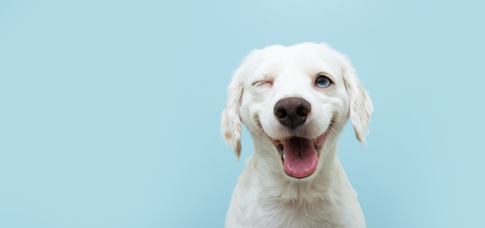 Treating Glaucoma Symptoms with CBD Oil for Dogs