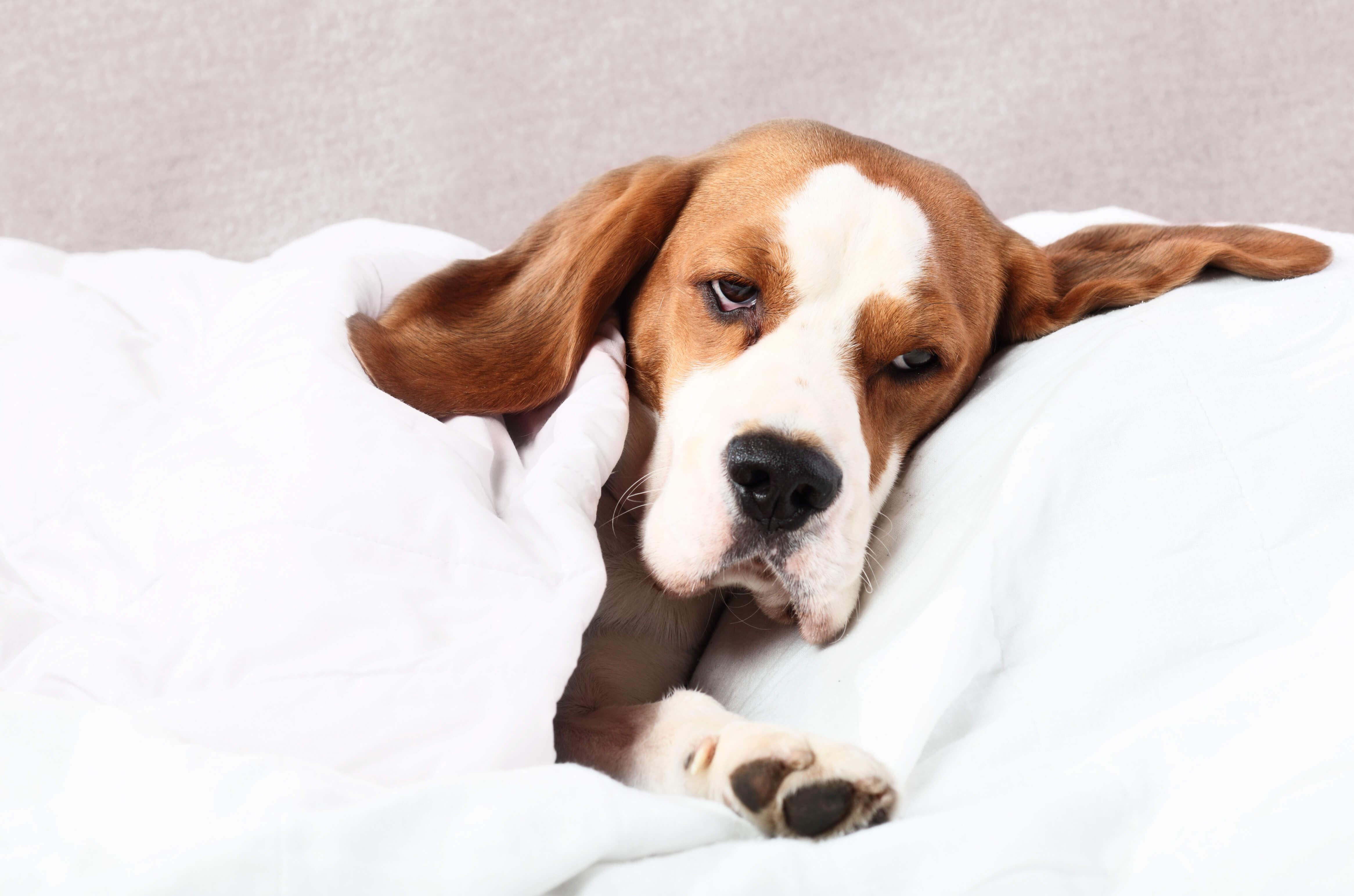 sedated dog