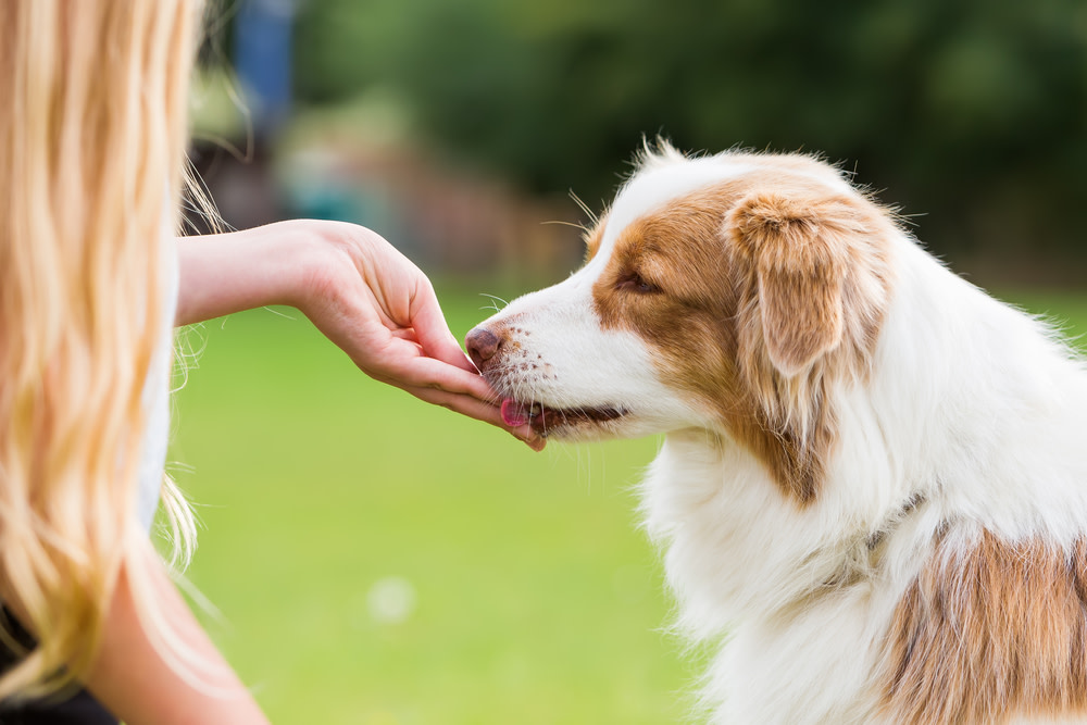 giving cbd oil to dogs