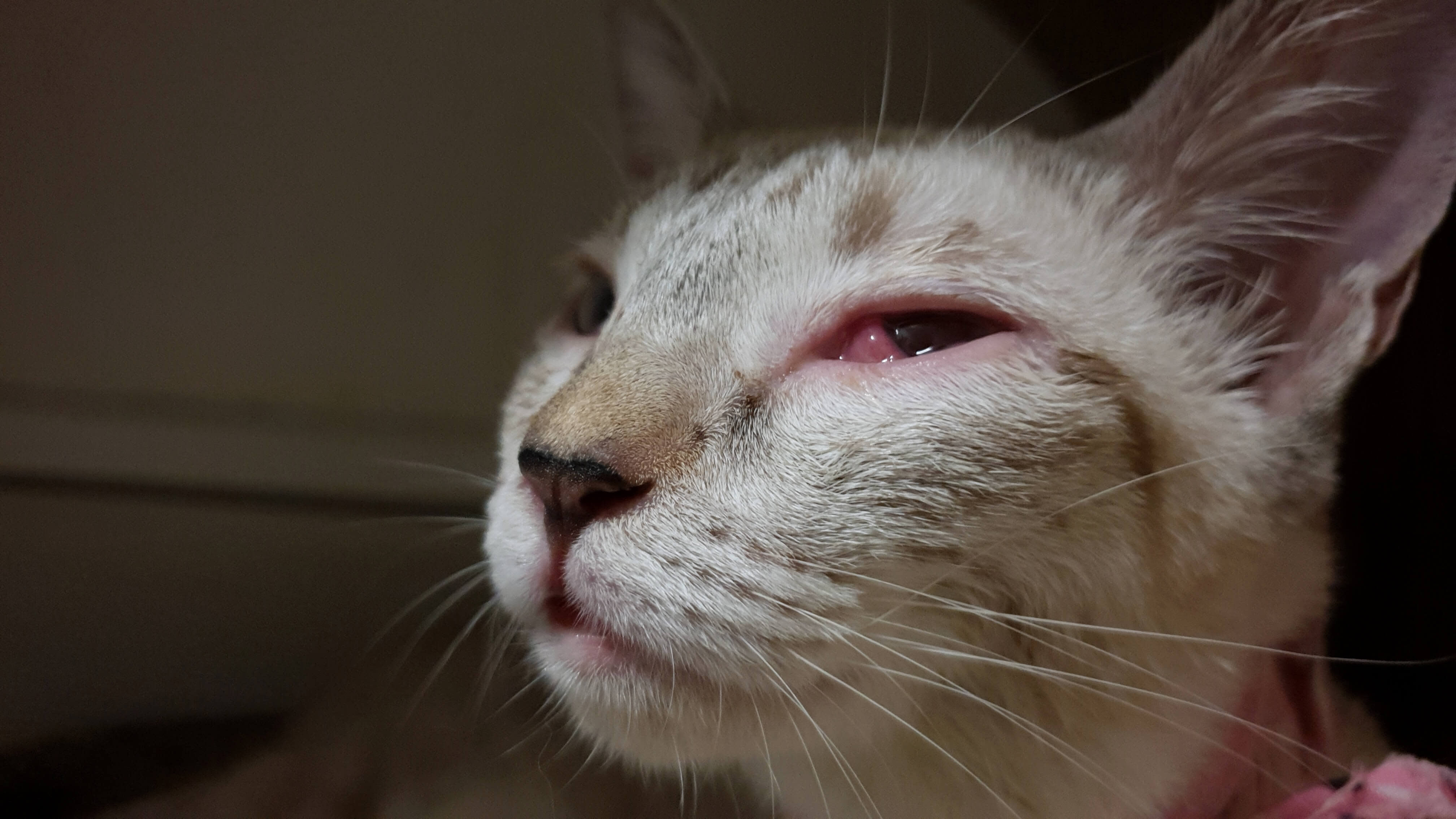 cat with infected eye
