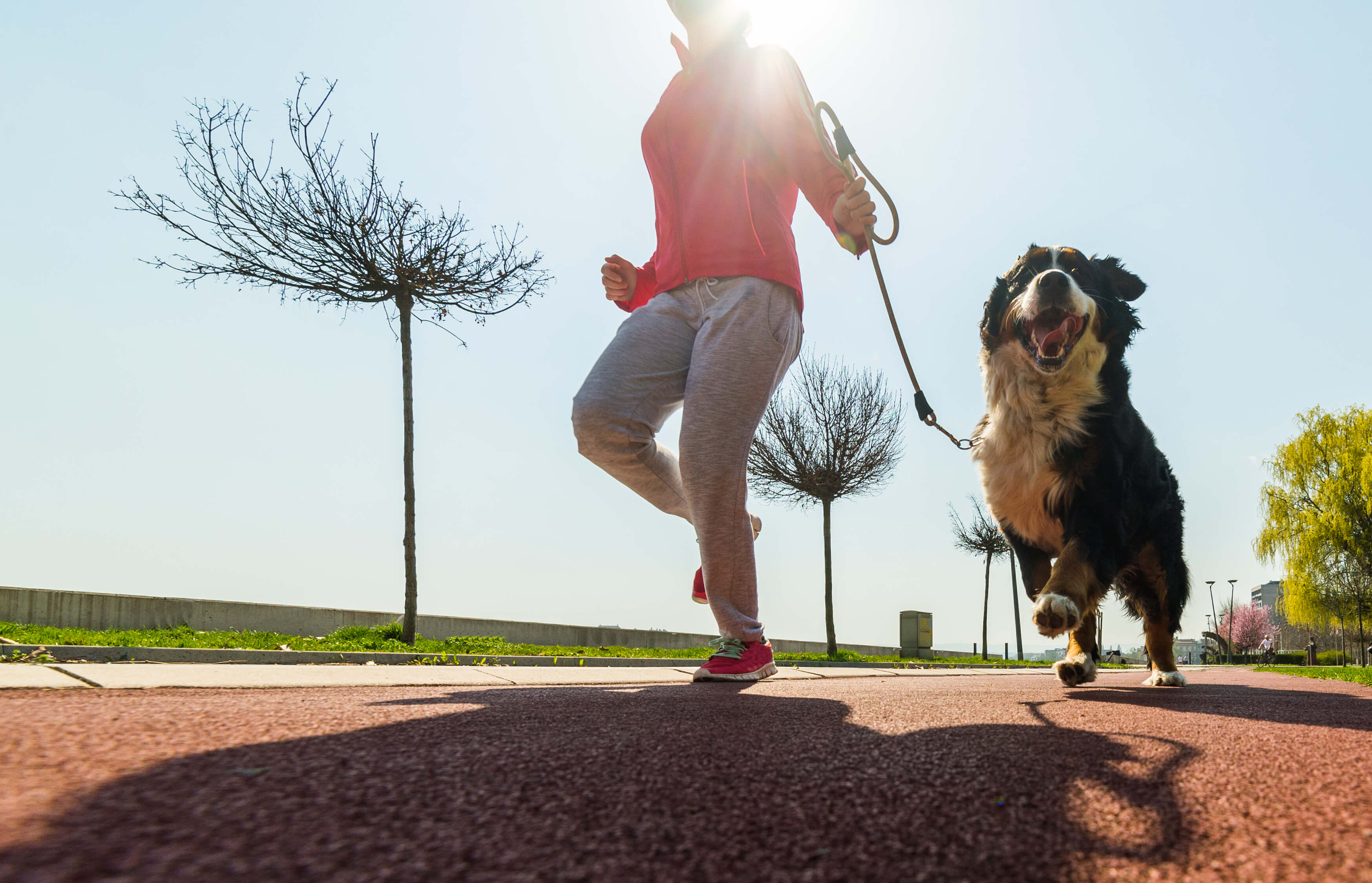 Woman in a pink shirt running with her Bernese Mountain Dog in a park.