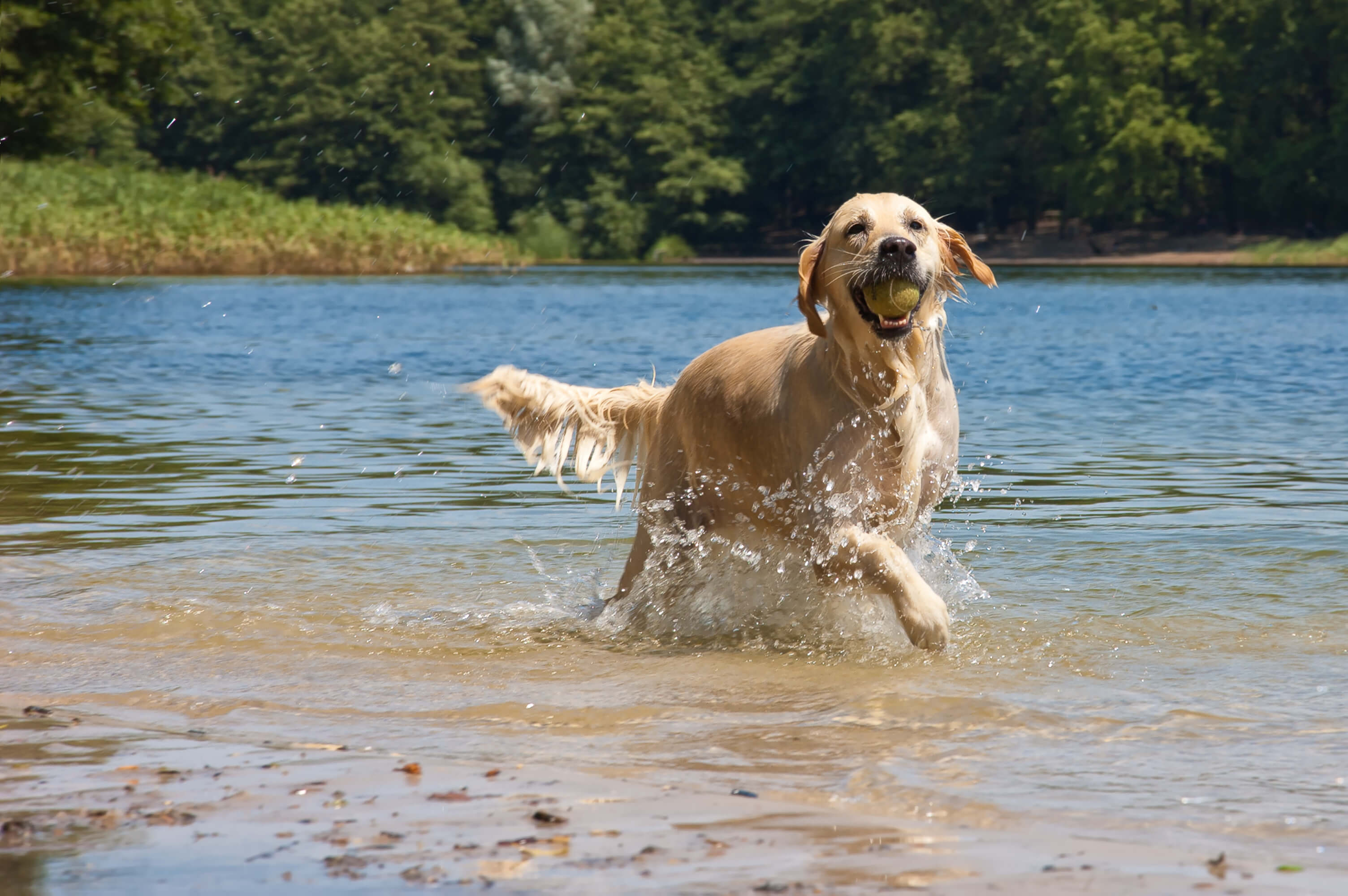 happy healthy dog playing in water