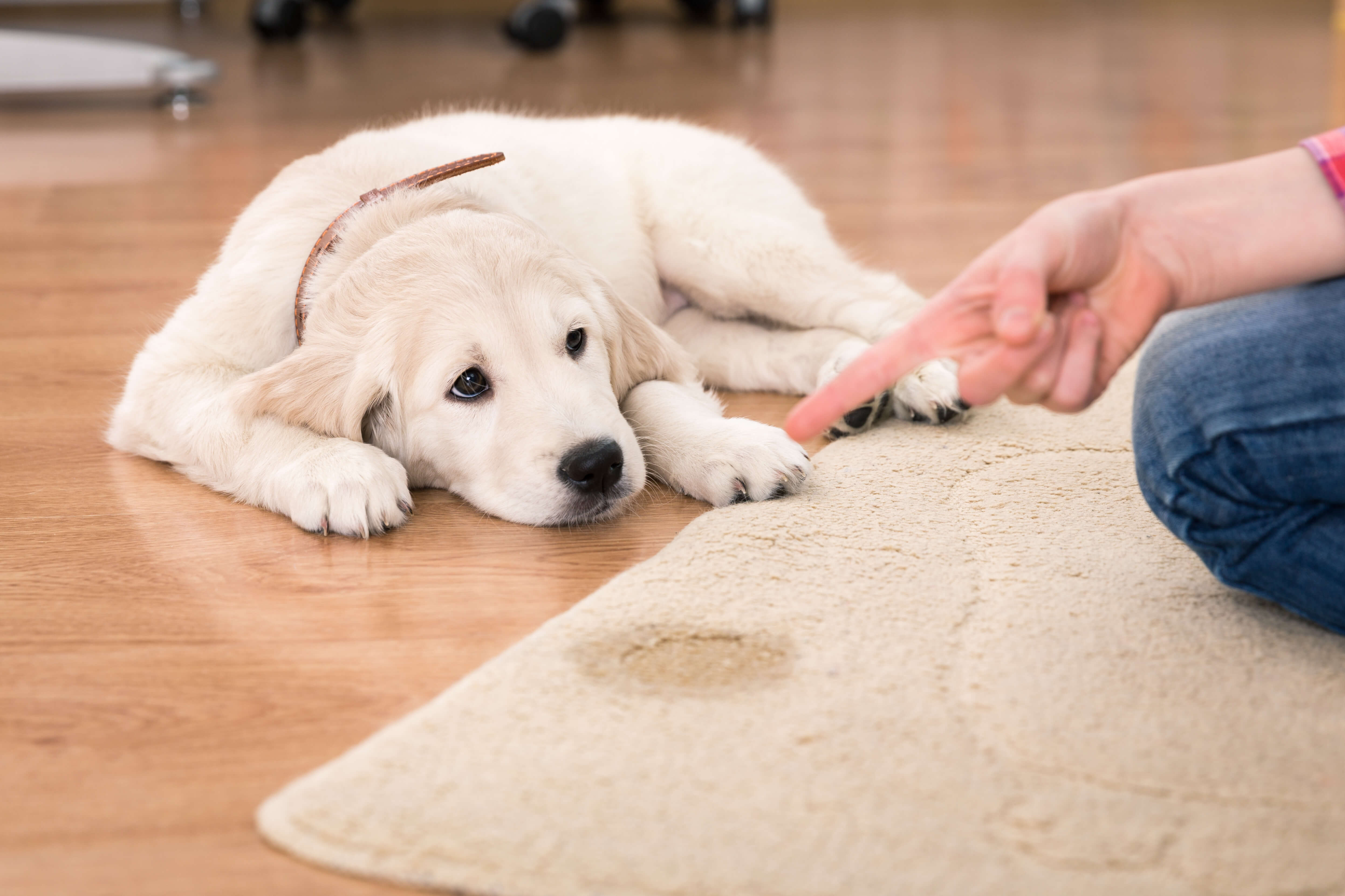 dog feeling guilty after peeing on carpet