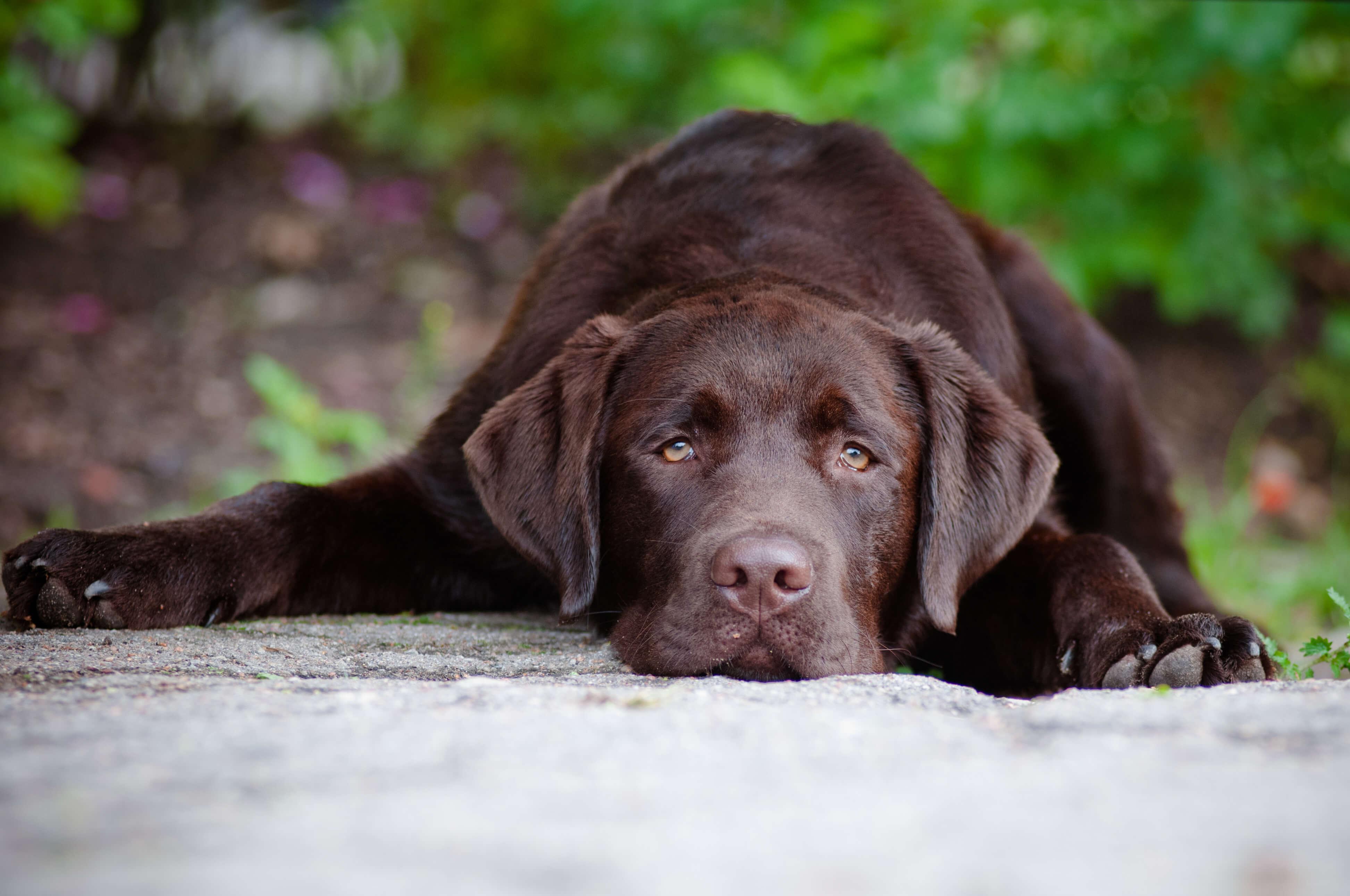 sad labrador laying down